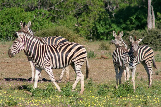 Safari Fusion blog | Happy Mother's Day | Zebra family with youngsters, Mashatu Game Reserve Botswana © Kellie Shearwood