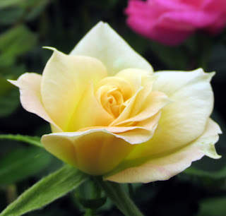 Yellow rose seedling