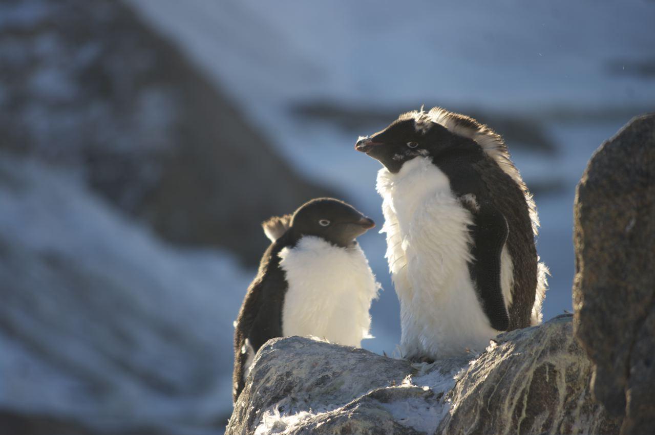 docteur pingouin chez les manchots  photo du jour