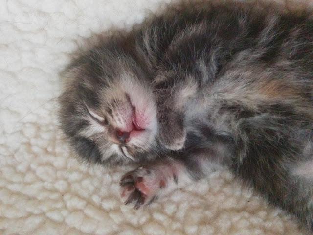 Harry The Kitten 11 days old