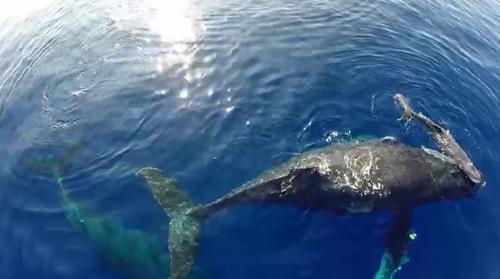 数千ものダイナミックにジャンプする鯨とquadcopterとGoProの組み合わせは、まったく未体験の世界をリアルに我々見せてくれる。