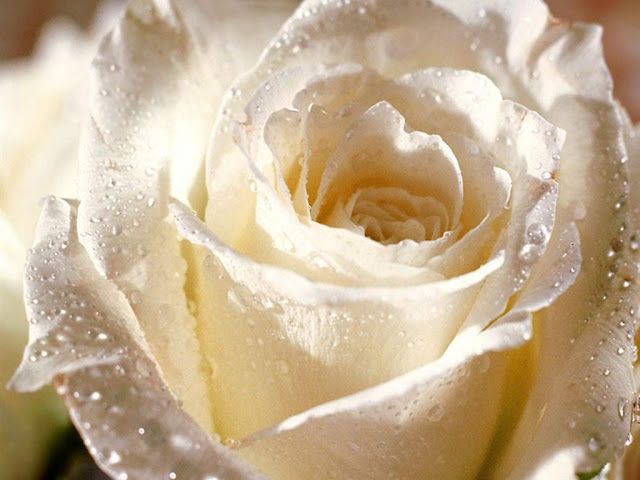 Whit Rose Picture For Desktop