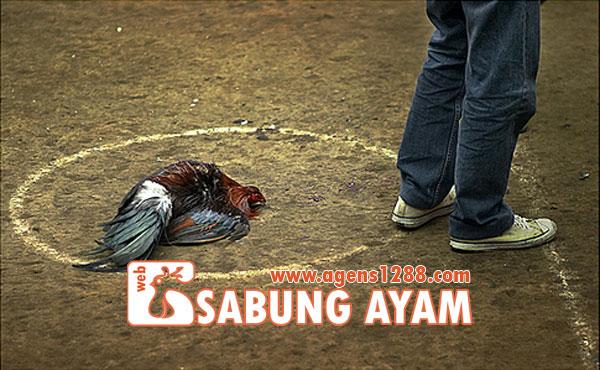 Hasil Pertandingan Arena AR3 Sabung Ayam S1228.net 18 November 2015