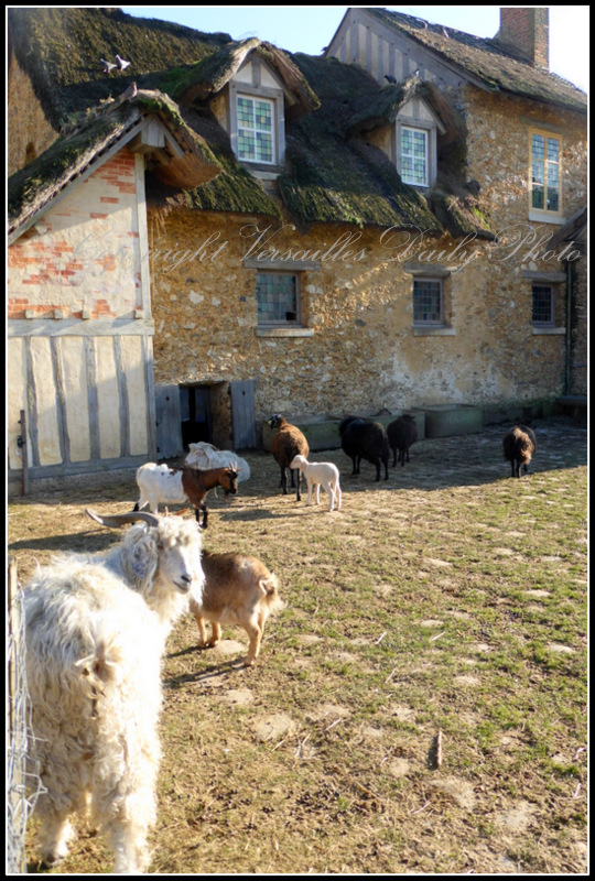 Sheep Goats Queen's hamlet Versailles