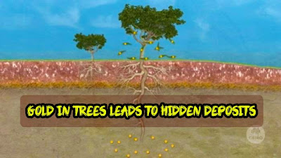 Gold in trees leads to hidden deposits