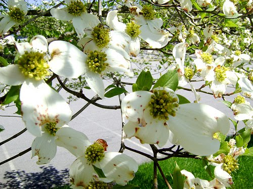 beautiful flowers dogwood flowers  pictures  meanings, Natural flower