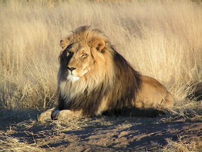 Binatang Buas Singa Afrika