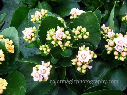 Kalanchoe plant-foliage and buds