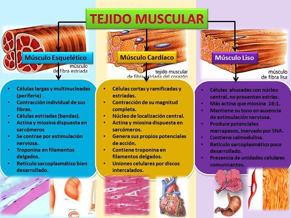 Siindy Linneth Pérez Polanco ;*: Tejido Muscular
