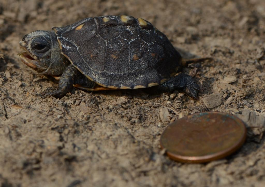 Baby Freshwater Turtles Hatchling box turtles are