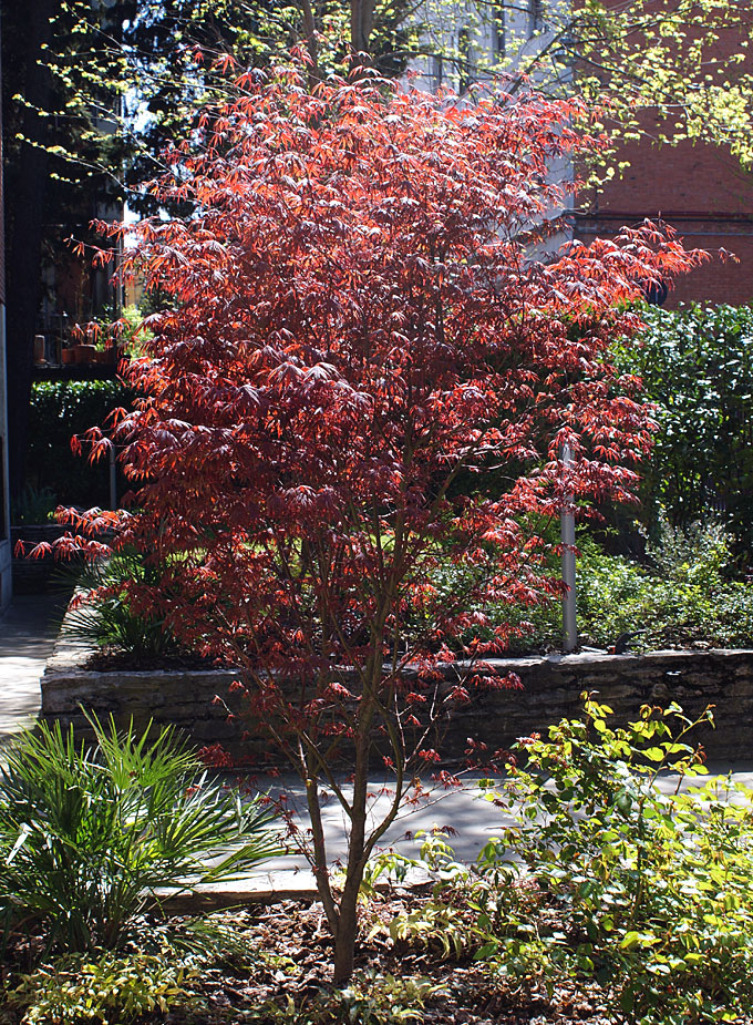 hortus italicus acer palmatum 39 atropurpureum 39. Black Bedroom Furniture Sets. Home Design Ideas