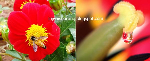 Nektar Bunga Pakan Kolibri Wulung