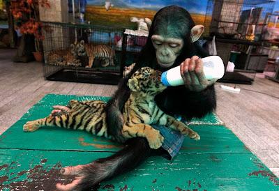 Animales Changuito Tigre bebé