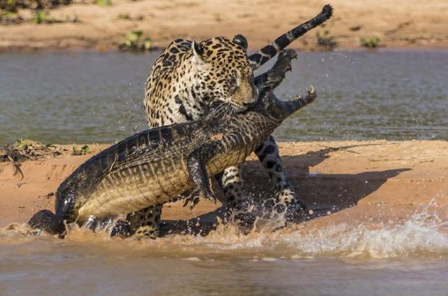 Jaguar attacks Caiman in Brazil