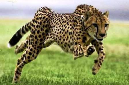 El chita mamífero más veloz del mundo