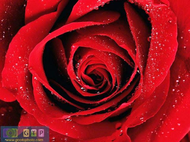 صور ورد احمر مبلل وردة جوري حمراء