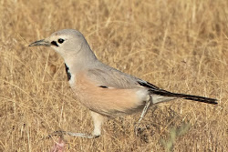 Pander's Ground-Jay, Uzbekistan, May 2019
