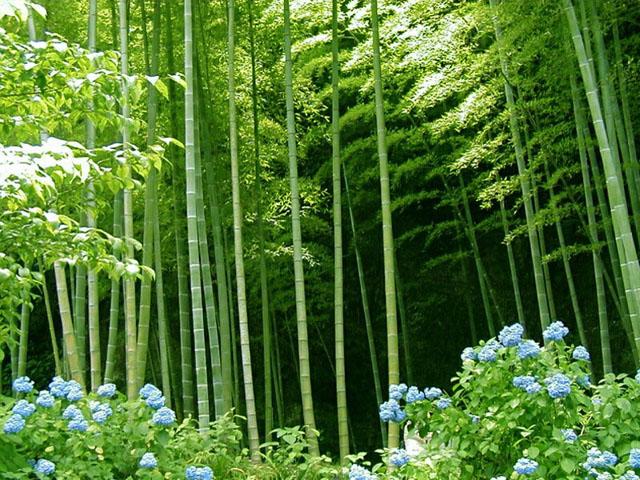 Bamboo Plants6