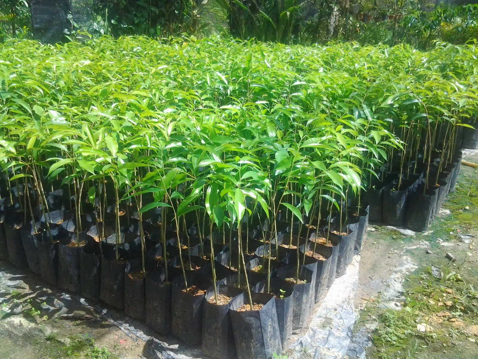 Nursery Pokok Gaharu