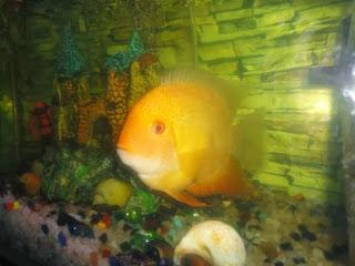 severum fish aquarium