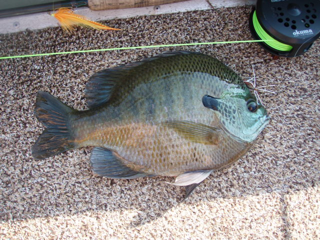 The smallmouth fly box pearow 39 s bentback spider for Caddo lake fishing report