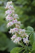 Hevoskastanjan kukka