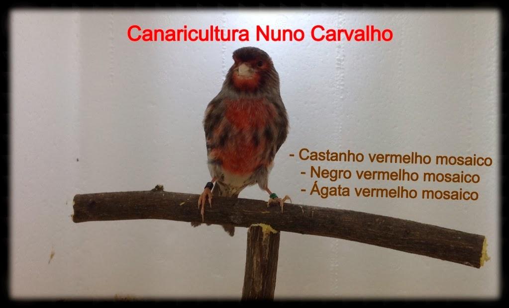CANARICULTURA NUNO CARVALHO