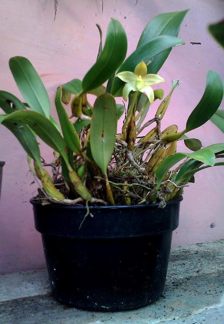 http://2.bp.blogspot.com/-tae7xkAv-ZA/UEzZEF6IJ_I/AAAAAAAAYoA/r9pD0sRMi4M/s1600/Bulbophyllum+elevatopunctatum+J.J.Sm..jpg
