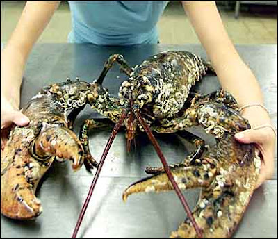 Largest Lobster in the World