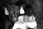 2012 Calf Crop