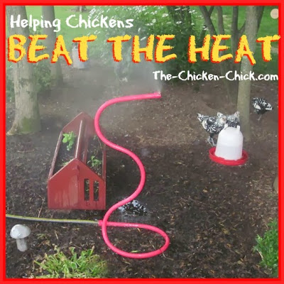 High heat is dangerous for chickens and measures must be taken by their caretakers to ensure their well-being, particularly when temperatures increase suddenly or exceed 85° F.  Heat stroke, heat-induced stress and death can result when a chicken is overheated.