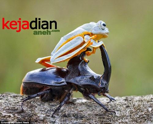 Katak Sambas Tunggangi Kumbang