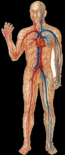 تعرف اعضاء جسم الإنسان المدرسة الأمازيغية الرقمية