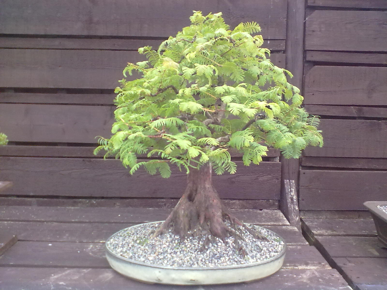 Ronin Bonsai Dawn Redwood