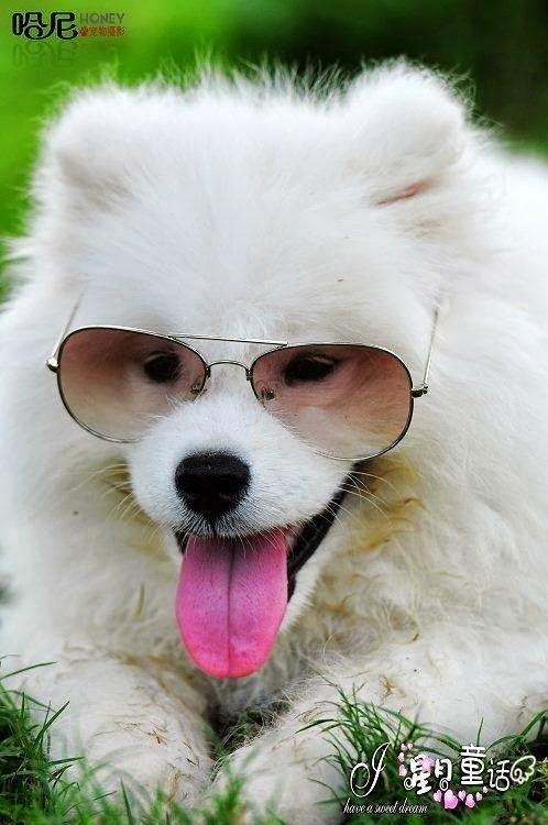 Gambar Wallpaper Keren Kumpulan Gambar Anjing Samoyed