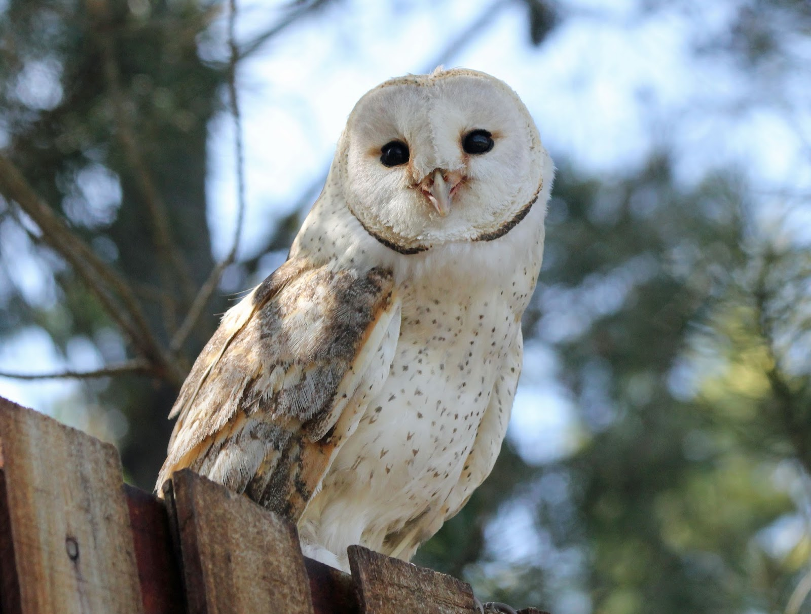 barn owls - photo #3