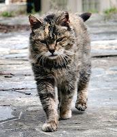 A grumpy-looking feral tomcat
