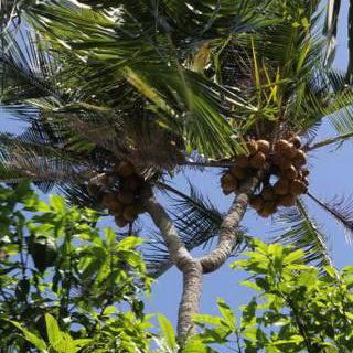 Pohon Kelapa Cabang Dua