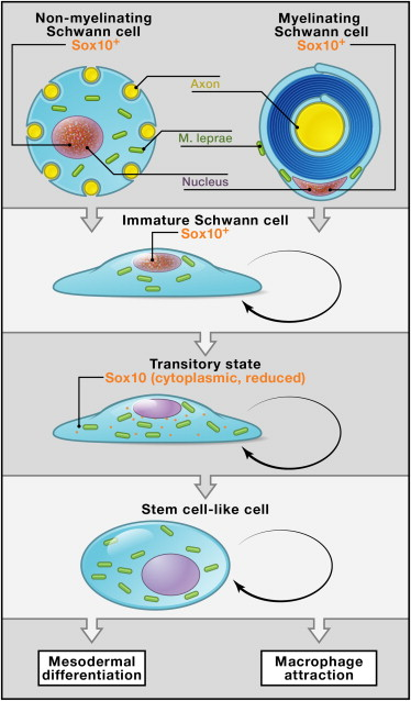 mécanisme de transformation des cellules de schwann en cellules souches