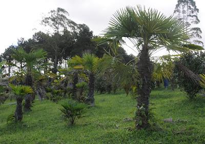 traquicarpus ou cata-vento chinês