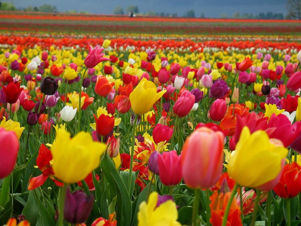 Gambar Bunga Tulip Belanda Indah Cantik