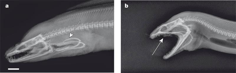 Крайние положения второй челюсти мурены