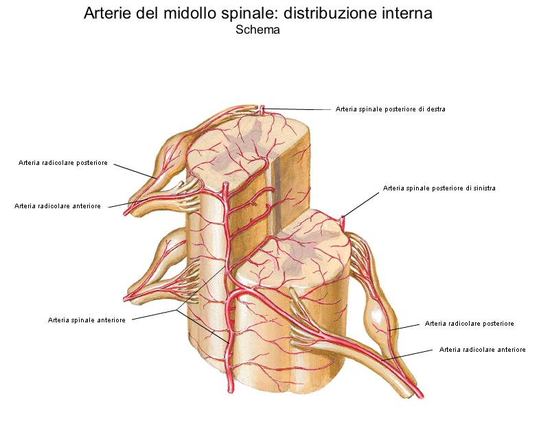 Medicina per passione: Irrorazione del midollo spinale