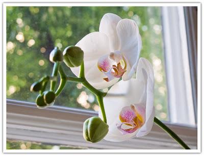 Orkidé blommar om