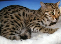 Bengal cat Free Download Wallpaper