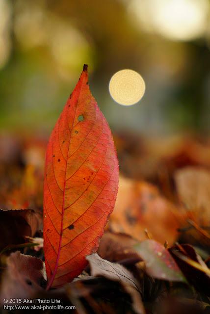 真っ赤に紅葉した葉っぱの発色が気に入り撮影した写真