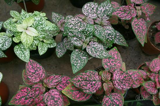 Plants with speckled leaves