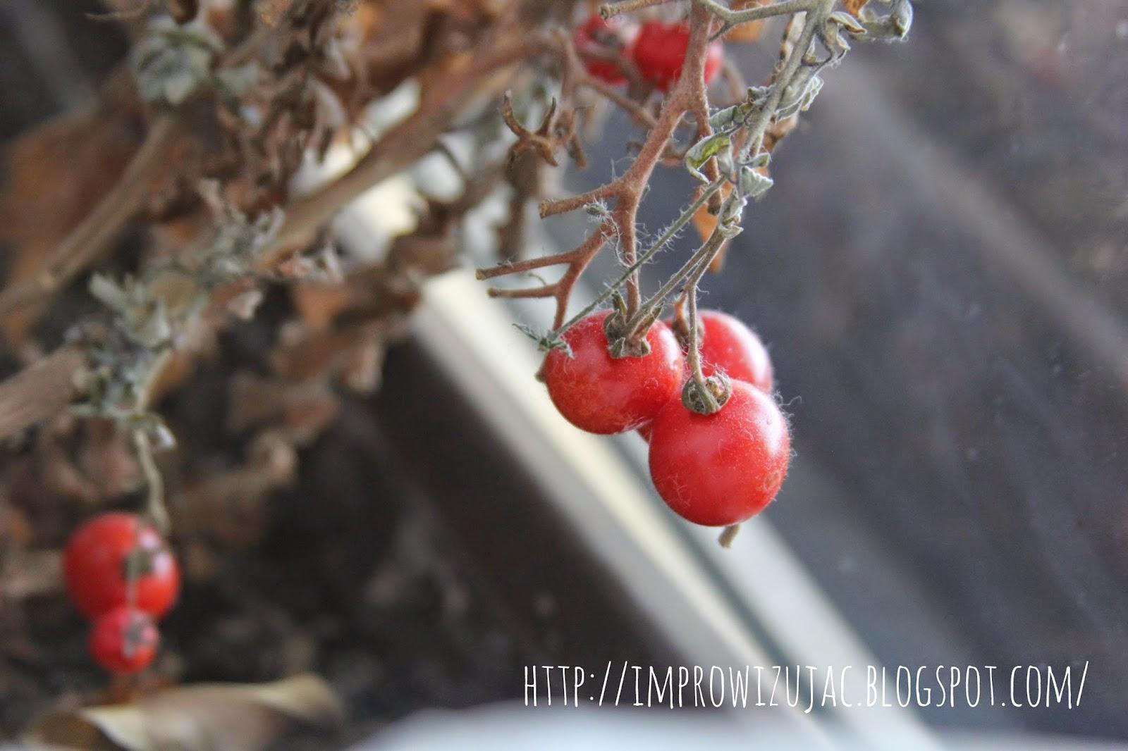 pomidorki koktajlowe na krzaczku