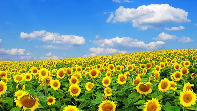 Campo de Flores de Girasol
