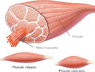 Regeneración del Tejido Muscular